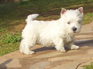 Εκτροφή West Highland White Terrier