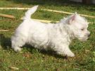 Εκτροφείο West Highland White Terrier